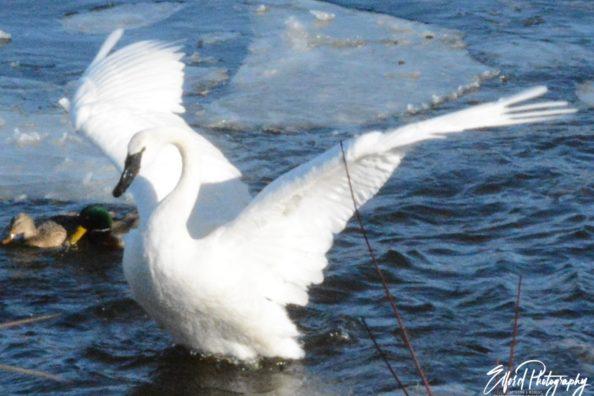 Swans part1