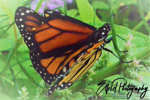 August Monarch Beauty