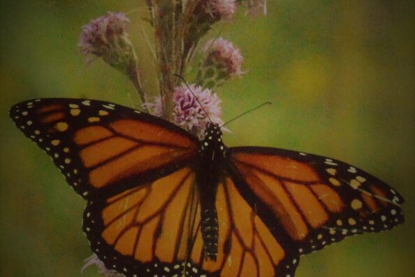 A late afternoon walk through some Wisconsin prairie lands with monarchs moving about