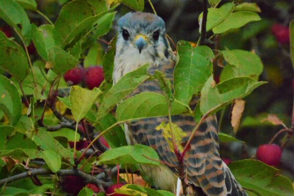 The MN Landscape Aboretum – Outdoor Photography Event – Red Tail Hawk & Small Raptor from the MN Raptor Center