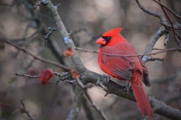 A cardinal in the afternoon
