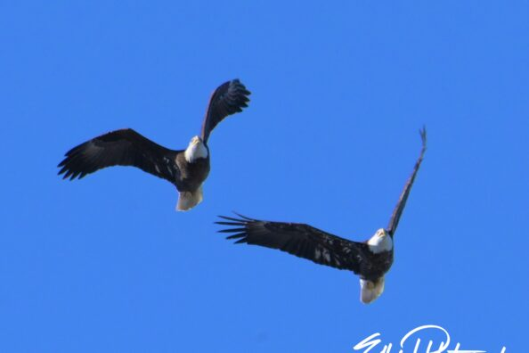 Capturing some eagles on a beautiful afternoon