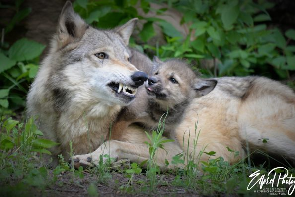 Photographing two wolves and their young pup