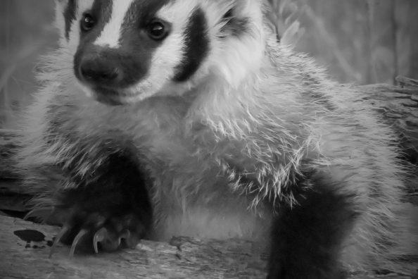 Photographying a cute badger