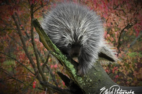 Photographying a porcupine