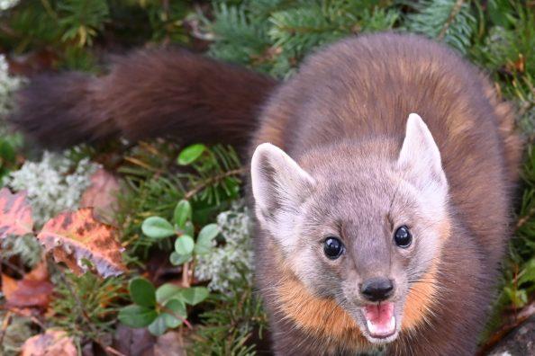 An adorable Pine Martin