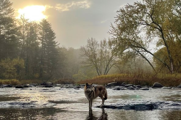A morning photographing a Gray Wolf